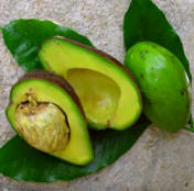 Avocados grow wild in Yucatan and other parts of Mexico