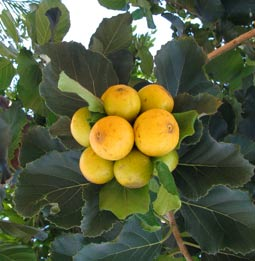 Ciricote, CORDIA DODECANDRA - fruits eaten by Mayan people in jams, preserves, compotes, and as sugar crystalized fruit.