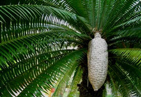 Dioon Cycads detailed botanical description and photos