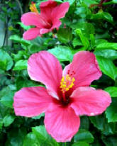 Hibiscus and other tropical flowers feed humming birds at the Hacienda Chichen