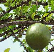 Calabash fruits are called Jicaras by the Maya who make beautiful crafts and bowls with it. Maya scholar Jean Charlot used to enjoy drinking fresh water for a jicara bowl.