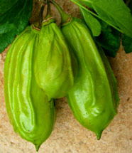 Candle Fruit Tree are commonly called Pepino Kat by Mayan Healers who use the fruit for many natural medicine remedies.