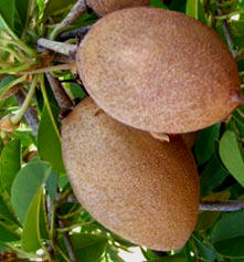 Sapotes are among the favorite fruit meals of Kinkijous and Squirels in Yucatan.