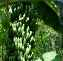 Maya Chef Josue Cime serves organically grown in-house bananas to guests  at Hacienda Chichen