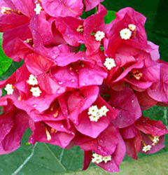Bougainville flower clusters abound in the hacienda gardens