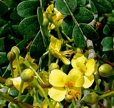 Caesalpinia gaumeri Greenm is called Kitinche in Maya and one of the most abundant flowering trees in Yucatan
