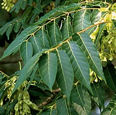 Copal Tree leafs and seed pods are blessed and use in many Mayan Ceremonies as it is the Copal Resin as a ritual inscense