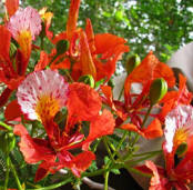 At Yaxkin Spa, the Flamboyan flowers are used in pampering aromatic baths.