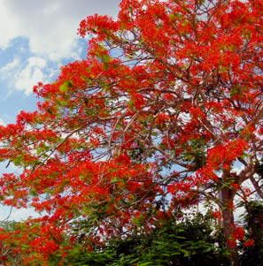 In Yucatan, birds and bats love enjoy the Flamboyan flowers during May