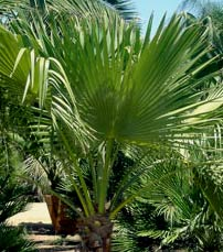 Guadalupe Palm, native of Mexico graces the path to Maya scholar E. Thompson Cottage garden views.