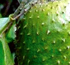 Guanabana fruit has truly exquisite sweet aroma and taste
