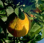 Sour Seville Orange is an important ingredient in Yucatan's cuisine