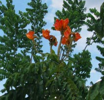 Mayan scholar Tatiana Proskouriakoff  loved viewing though her cottage this exotic flower tree