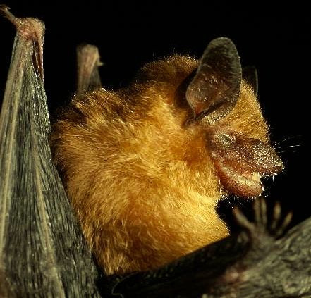 Yucatan yellow bat, Rhogeessa aeneus, endemic to the Yucatan