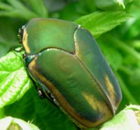 Green June beetles love to dwell in our hibiscus bushes all year round