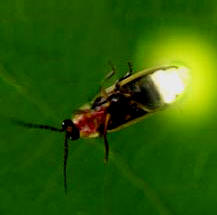 Read here what makes a firefly glow
