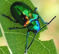 Green Iridescent Beetle devoring a fresh leave at Hacienda Chichen Eco-Reserve