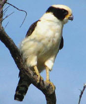 Falcons found in Yucatan: Laughing Falcon at Hacienda Chichen Resort