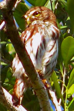 Glaucidium brasilianum: F. Pygmy Owl (English)  Buho Viejita o Mochuelo Cabur�  (Spanish) or X'nuk (Maya) - found in Hacienda Chichen Bird Refuge, Yucatan