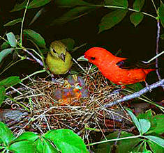 Scarlet Tanager parents share in caring for their young, come enjoy birding and nature with one of our many vacation offers