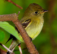 Birding in Chichen Itza at Hacienda CHichen Bird Refuge is a wonderful place to observe yellow-bellied flycatchers nesting