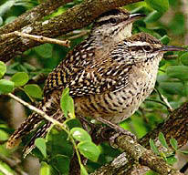 Yucatan Wren at Hacienda Chichen Bird Refuge - come enjoy Mother Nature and Yucatan's Wildlife